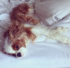 Cavalier King Charles ~ Cant seem to get out of bed ~ Finley