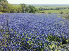 Texas Bluebonnets - Makes me miss home! Obviously been here, but just love this, nothing says Texas like a field of bluebonnets!