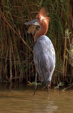 Goliath Heron (Ardea goliath). A wading bird of Sub-Saharan Africa and parts of south Asia, it is the world's largest heron, reaching 5 feet tall with a 7 foot wingspan. photo: Arno Meintjes.