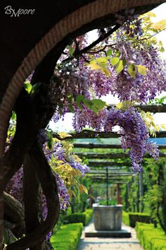 Wisteria at Polesden Lacey