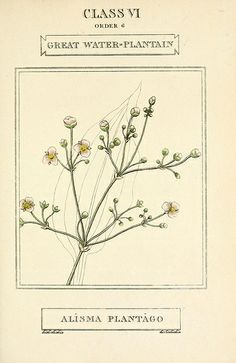 Alisma plantago-aquatica / Elements of the science of botany, printed by T. Bensley for J. Murray. 1812.