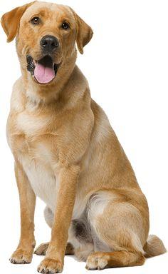 Olvasófa Cute Cats And Dogs, Dog Accessories, Mans Best Friend, Dog Pictures, Beagle, Lorem Ipsum, Labrador Retriever, Dog Cat, Puppies