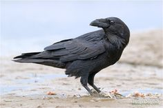 corvus corax by Sergey Osipov