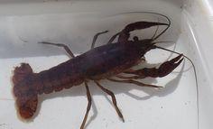 Crustáceo decápode - (Decapoda) - Crustacea, Malacostraca