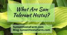 A blog about gardening with specific emphasis on hostas! This blog is the spin off of our website, SunsetHostaFarm.com where we sell great hostas! Landscaping Around House, Landscaping Tools, Lavender Flowers, Purple Flowers, Sun Hostas, Hosta Varieties, Drip Irrigation System, Hosta Gardens
