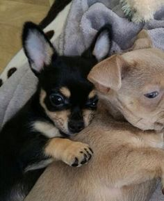 Black and Tan Chihuahua Puppy and a Lilac Chihuahua x