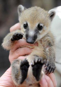 Baby Coati!