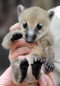 One of 22 recently-born coatis is given a medical inspection by zoo keepers at Melbourne Zoo.