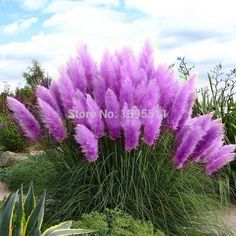 Pas cher 400 violet herbe des Pampas graines herbe ornementale semences pour…