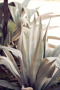Inspiration and Favorite. Agaves, Cactus Plante, Plants Are Friends, Palmiers, Cactus Y Suculentas, Desert Rose, Cacti And Succulents, Botany, Trees To Plant