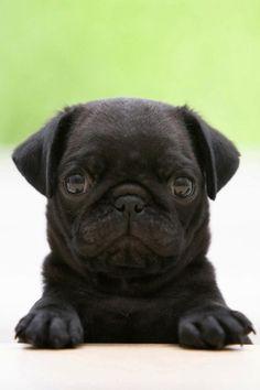 black pug baby! i want a pug so bad. @Ryan Sullivan Campos