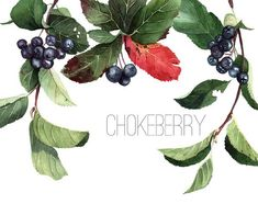 Fabulous #aronia melanocarpa illustrations by @Julia Hromova on Flickr. We love them!