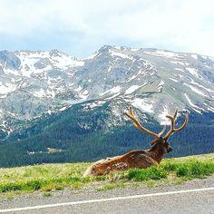 Just chillin' here by the road and enjoying the scenery! Elk were really congregating along Trail Ridge Road on Saturday at Rocky Mountain National Park.  @rockynps #RMNP #trailridgeroad #RockyIsMyPark #findyourpark #nationalpark #kansallispuisto #NPS100 #trailchat #BPmag #colorado #visitcolorado #coloradolive #cometolife #elk #eläimet #wapiti #animals #mountains #vuoret #kalliovuoret #rockies #rockymountains #travel #matka #reissu (via Instagram)