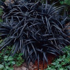 Black Mondo Grass - Ophiopogon Planiscapus Nigrescens is unique since it is one of the few black leaved ornamental grasses in the world. Black Mondo Grass is stunning when planted in mass or as an accent plant in the flower garden. Black Mondo Grass is a slow spreader and will eventually form a beautiful glossy black mat.