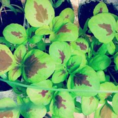 Coleus seedlings-- these are supposedly easy plants to grow as seedlings