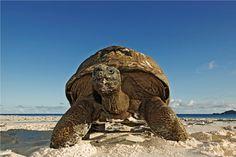 Seychelles Islands, Africa, Cousine Island, Giant Tortoise