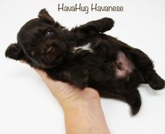 Photo Gallery Part V - HavaHug Havanese Puppies Havanese Puppies, Teddybear, Photo Galleries, Chocolate, Gallery, Heart, Dogs, Cute, Animals