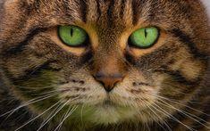 Download wallpapers cat, portrait, green eyes, brown cat, pets