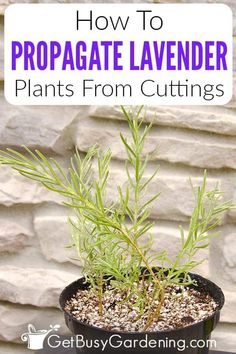 Are you interested in propagating lavender cuttings in your garden but aren't sure when or how to do it without damaging your plant? Look no further than my detailed lavender propagation guide. I teach home gardeners how to take cuttings, how to prepare them, and how to propagate them in both water and soil. Once you have your rooting cuttings, I share my best tips on selecting the right soil and water, and how to transplant into pots or your garden so your baby plants can grow and thrive. Cuttings, Propagation, Amaryllis Care, How To Propagate Lavender, Lavender Leaves, Gardening For Dummies, Growing Lavender, Garden Care, Plant Care