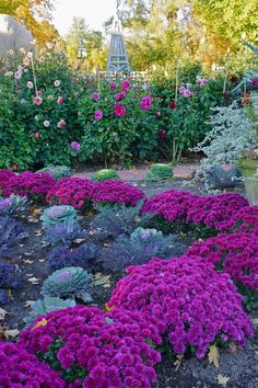 mums surround ornamental kale in Carolyne Rhoem's fall garden. Garden Mum, Autumn Garden, Dream Garden, Purple Garden, Colorful Garden, Fall Flowers, Love Flowers, Beautiful Flowers, Purple Flowers