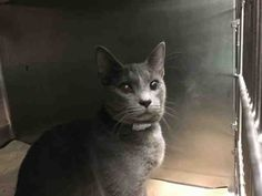 PACO - A1093629 - - Brooklyn  *** TO BE DESTROYED 10/20/16 *** PURRFECT PACO DUMPED FOR TREATABLE SEIZURES!!….PACO is a year old male who is good with kids and adults. He is BEGINNER rated and likes attention!! But as soon as he had a seizure, he didn't get taken to a vet, he got dumped at the ACC!! Seizures are treatable and very often if they are infrequent, they are not medicated at all! But PACO's former family didn't bother to find out that info