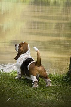 Look at that stance! Beautiful! ~ My Basset is gorgeous but I think he'd fall over if he stood like this! LOL!