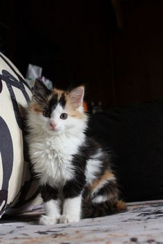 calico...... rare with the white called a different breed aaww he so cute