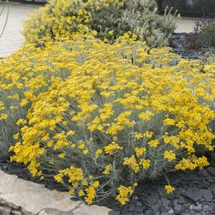 Helichrysum Italicum, Curry, Dry Garden, Kraut, Flower Beds, Pumpkin, Yard, Outdoor, Gardening