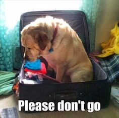 Funny Forlorn Looking Dog in the Suitcase preventing Mum from going on Holiday