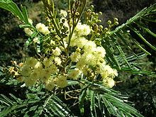 Acacia mearnsii - for Fukuoka, the number one tree of soil improvement and many other uses ... Acacia Negra, Chutney, Australian Plants, Tree Seeds, Growing Tree, Fast Growing, Ornamental Plants, Seed Pods, Planting Seeds