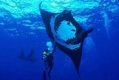 Giant Manta Ray - Rays - http://best-diving.org