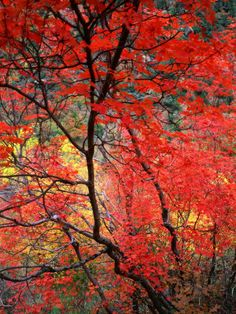 Colourful Leaves on Trees Zion National Park Utah USA  by Rob Blakers