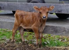 miniatur jersey cow for sale! see a video of her at www.miniaturejersey.net