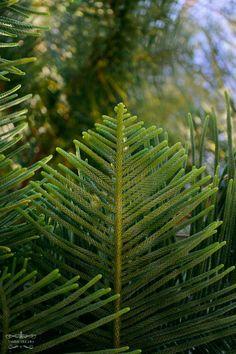 Lovely Evergreen