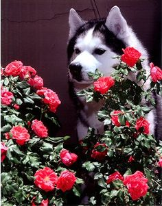 Siberian Husky taking time to smell the roses.