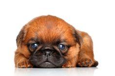 Cucciolo di Griffon Bruxellois