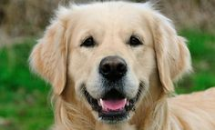 Just look at how happy these Golden Retrievers are... They will inspire you!