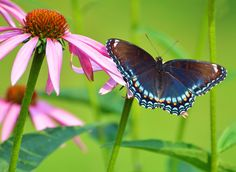 https://flic.kr/p/oAdERJ | Red-spotted Purple Butterfly in Pam's garden | This butterfly may also be called Red-spotted Admiral. Its Latin name is Limenitis arthemis astyanax. This butterfly is the same species as the White Admiral, which has a band of white across the wings and no red spots, and whose Latin name is Limenitis arthemis arthemis.   Got that?   For more information and to see the White Admiral, you can click here: en.wikipedia.org/wiki/Limenitis_arthemis