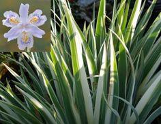 iris japonica variegata - Buscar con Google