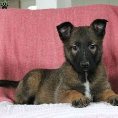Meet Max, an energetic Belgian Malinois puppy. This pup is vet checked, up to date vaccinations and dewormer plus the breeder provides a health guarantee Belgian Malinois Breeders, Malinois Puppies For Sale, Guinea Pig Toys, Guinea Pig Care, Guinea Pigs, Puppy Find, Greenfield Puppies, Funny Animals, Funny Pets