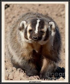 I love Colorado Wildlife and this little badger is cute! JFantasma Photography