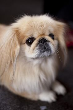 Awww-Stentatious Displays of Cute Yorkies, Pekingese Puppies, Cute Baby Puppies, Cute Dogs, Dogs And Puppies, All Breeds Of Dogs, Dog Breeds, Lion Dog, Dog Cat
