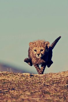 Little cheetah. One of the best pictures of a baby big cat I've ever seen!