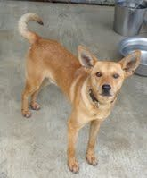 Asher is an 8 month old male shepherd/terrier mix; hw-