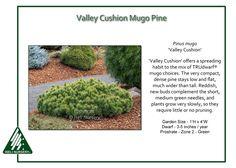 Pinus-mugo-ValleyCushion
