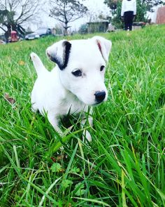 Adorable jack russel puppy @yummypets
