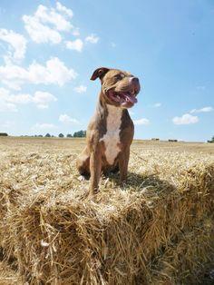 Pitbull in the summer sun ♡