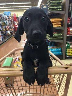Cute Black Puppy In Shopping Trolley