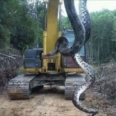 Giant anaconda terrifies builders on construction site - Yahoo New Zealand