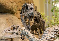 Ceratosaurus attaquant un Dryosaurus. / Saurischia. Theropoda. Ceratosauria. Ceratosaurus